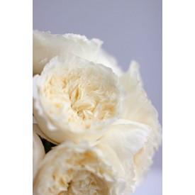 Роза сорт Пешиз