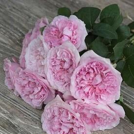Розы Миранда